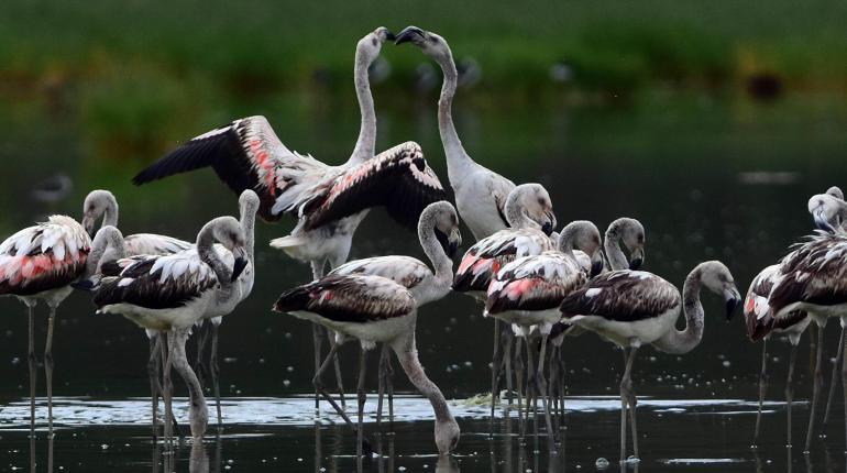 Flamencos en la laguna de Quenamari